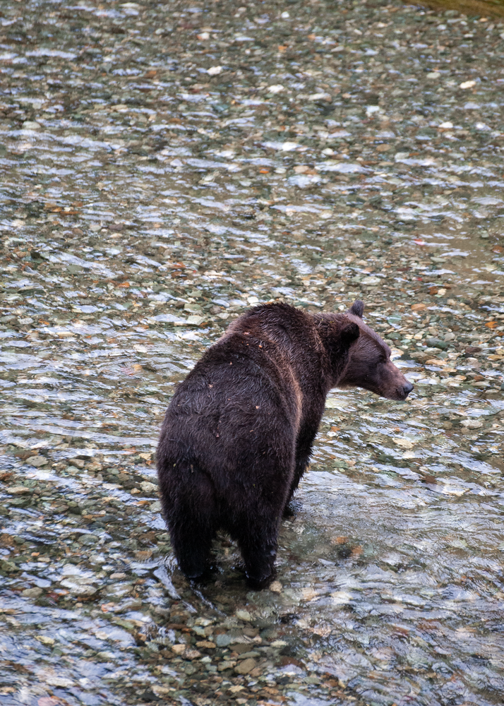 Grizzly Bear Fishing Photography Art | Eric Hatch