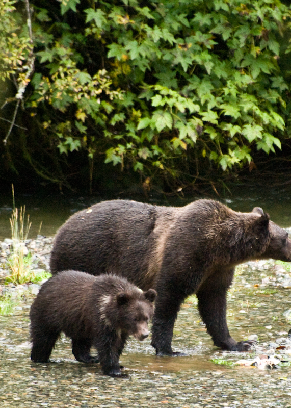 Grizzly Bear Mom And Cub Photography Art | Eric Hatch