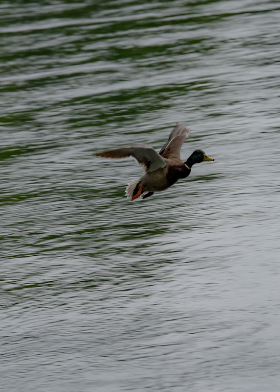 Mallard Duck Photography Art | N2 the Woods Photography