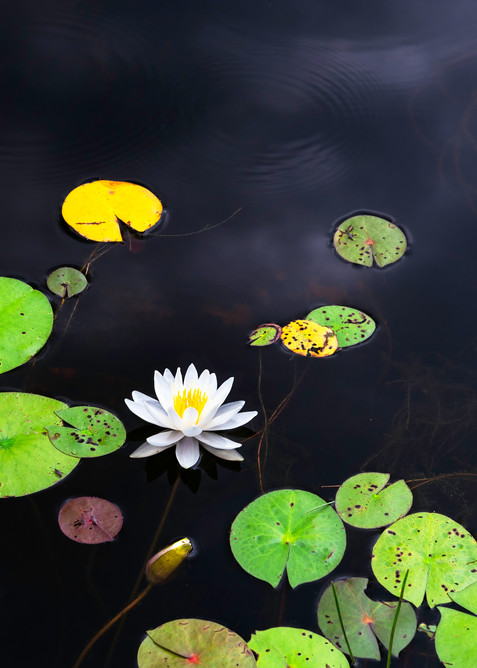 Water Lily Photography Art | Elizabeth Stanton Photography