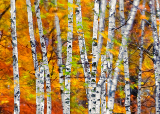 Wind and Birch in Banning State Park