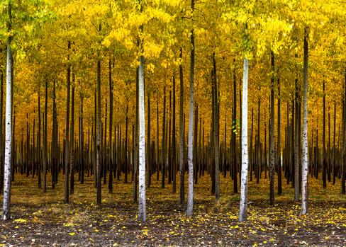Poplars at the Boardman Tree Farm, OR
