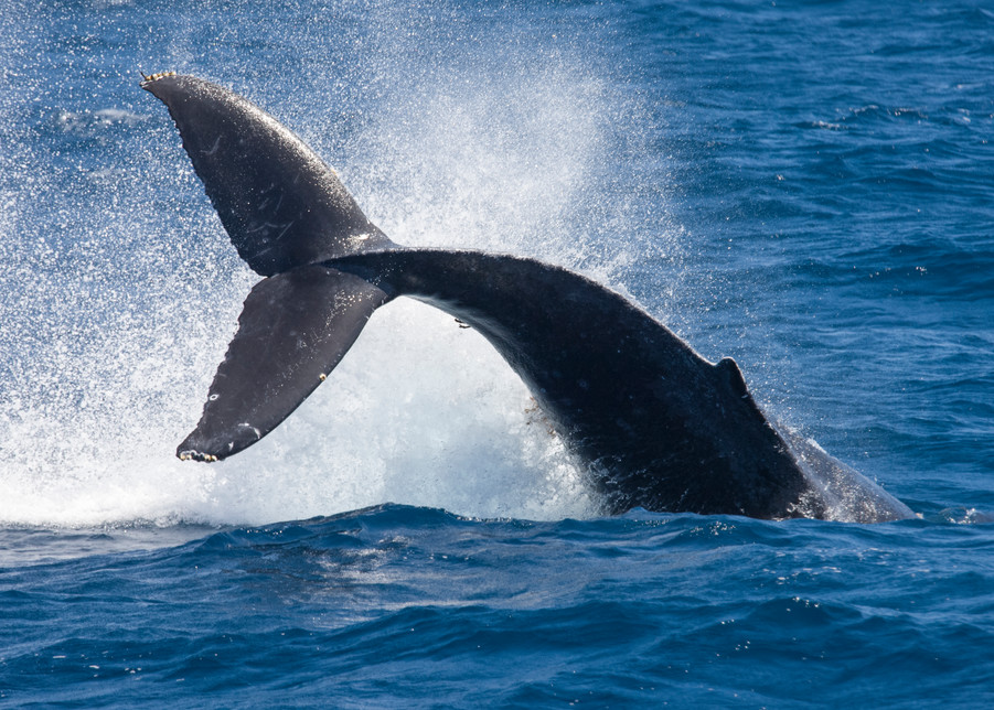 Anacapa Island, Channel Islands National Park and National Marine Sanctuary, California; Humpback Whale (Megaptera novaeangliae) tail slapping at the water's surface, also known as a peduncle slap