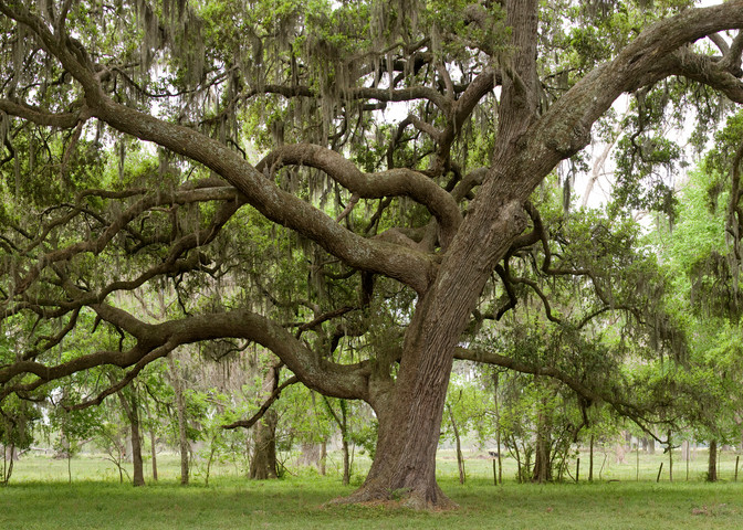 Live Oak Tree Pano, Damon, Texas