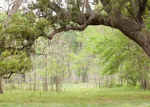 Live Oak Tree Arch, Damon, Texas