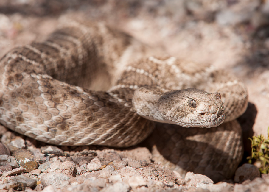 Western Diamondback Rattlesnake, Tucson, Arizona