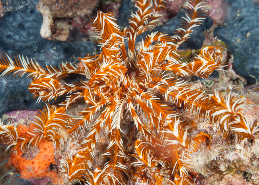 Feather Star & Sponge, Raja Ampat, Indonesia