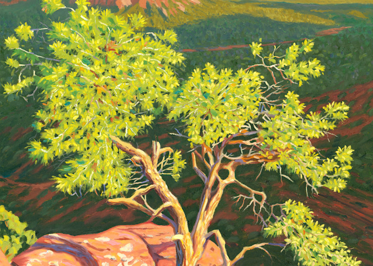 Pinion pine on Airport Mesa Vortex