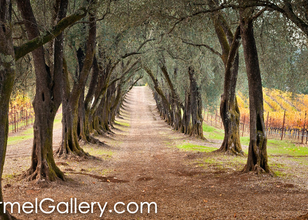The Olive Grove Path