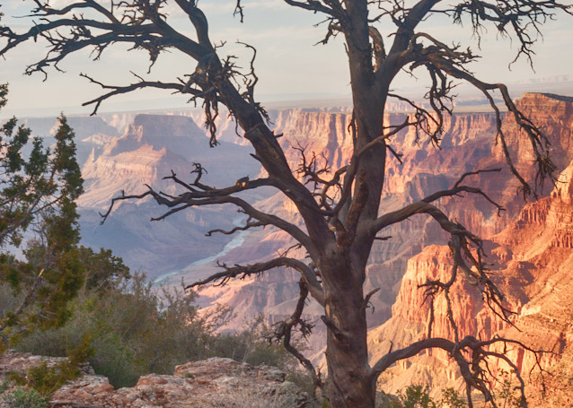 Old Tree Grand Canyon