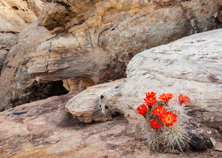 Claret Cups and Rocks