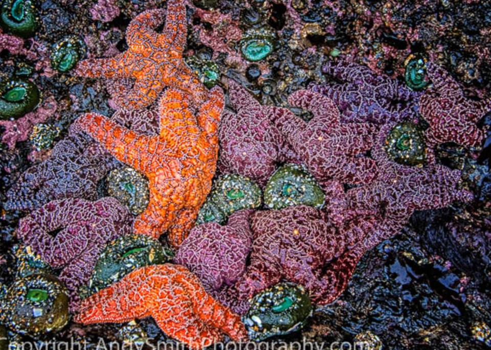 Purple Ochre Sea Stars fine art photograph
