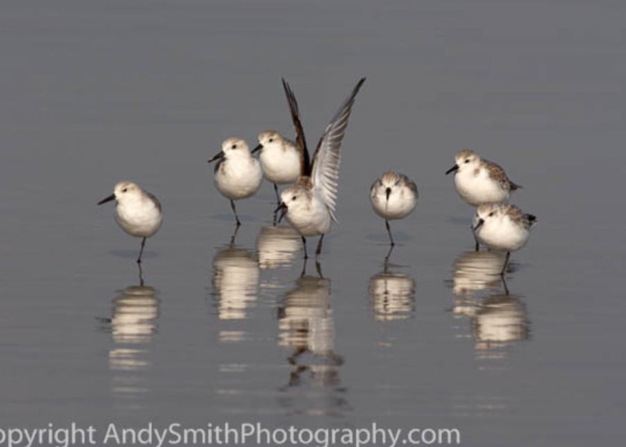 seven sanderlings  fine art photograph