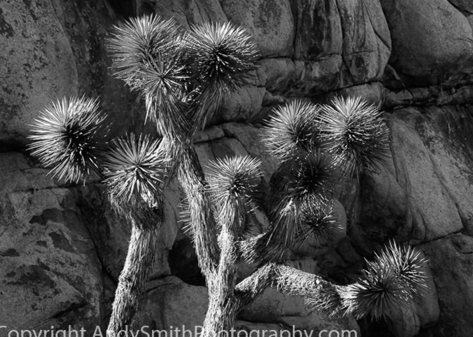 Joshua Tree black and white fine art photograph