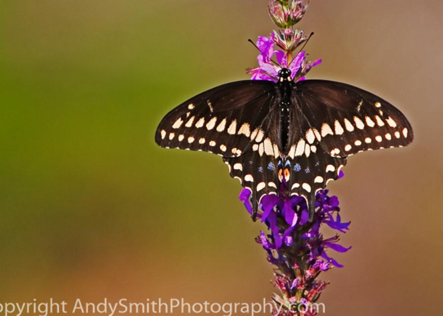 Eastern Black Swallowtail  fine art photograph