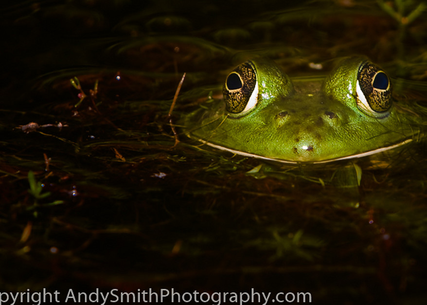 Green Frog, Rama clamitans melanota, fine art photograph