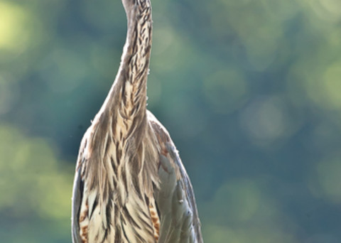 Great Blue Heron at Attention fine art photograph