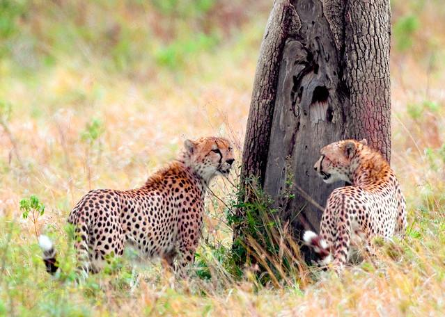 Cheetahs 017 Photography Art   Cheng Yan Studio