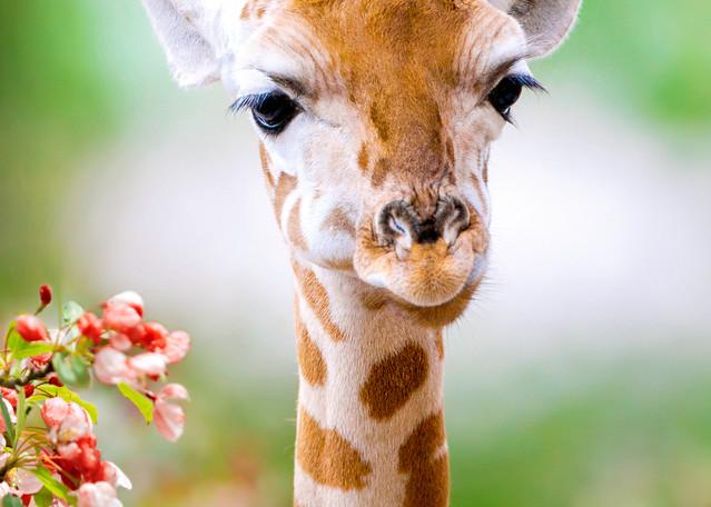 Giraffes 004 Photography Art | Cheng Yan Studio