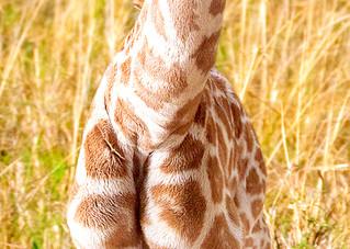 Giraffes 001 Photography Art | Cheng Yan Studio