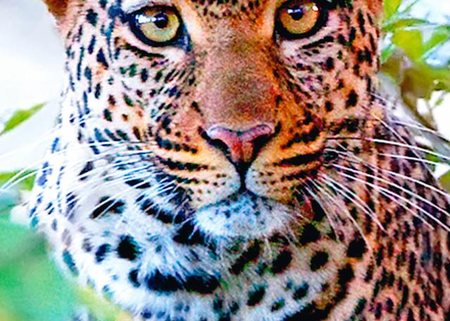 Leopards 001 Photography Art | Cheng Yan Studio