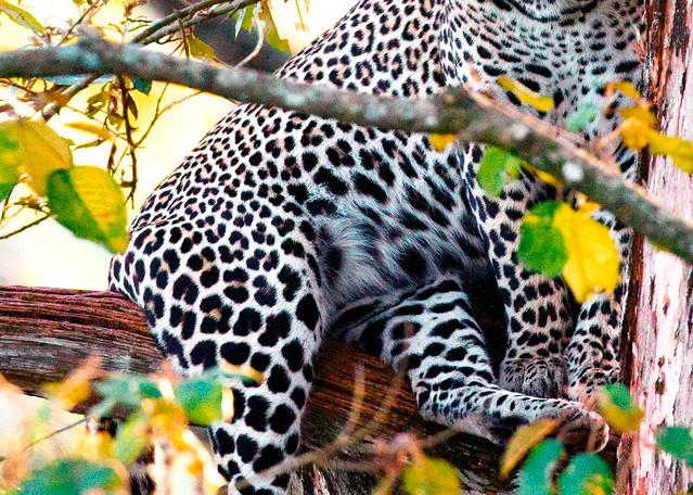 Leopards 003 Photography Art   Cheng Yan Studio