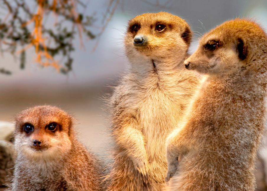 Meerkats 002 Photography Art | Cheng Yan Studio