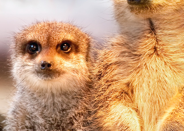 Meerkats 004 Photography Art | Cheng Yan Studio