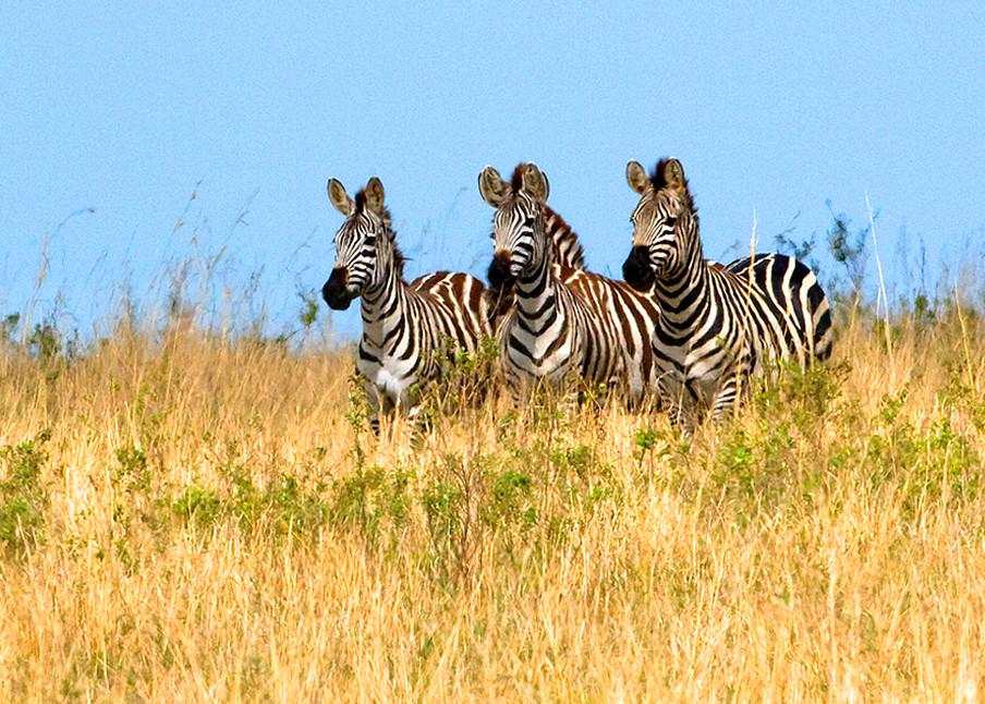 Zebras 003 Photography Art | Cheng Yan Studio