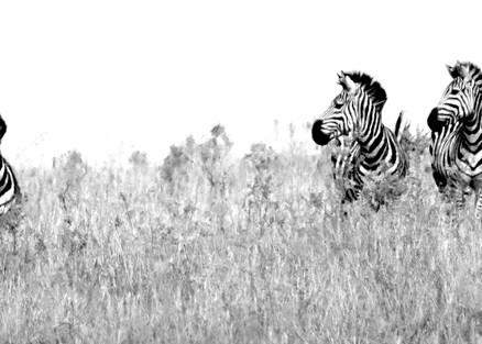 Zebras 012 Photography Art | Cheng Yan Studio