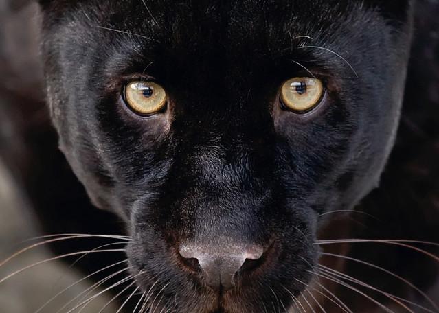 Black Panthers 001 Photography Art   Cheng Yan Studio