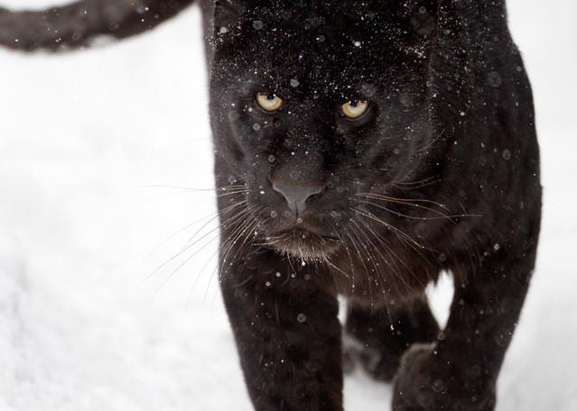 Black Panthers 006 Photography Art | Cheng Yan Studio