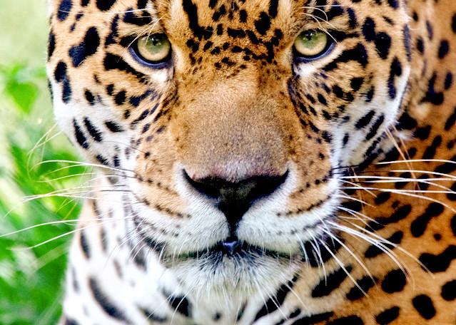 Jaguars 002 Photography Art | Cheng Yan Studio