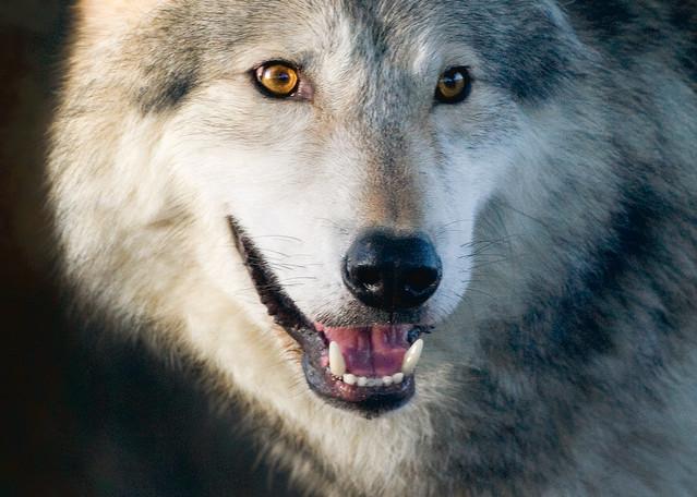 Wolves 003 Photography Art | Cheng Yan Studio