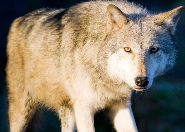 Wolves 011 Photography Art | Cheng Yan Studio