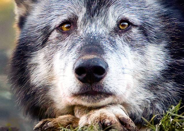 Wolves 010 Photography Art | Cheng Yan Studio