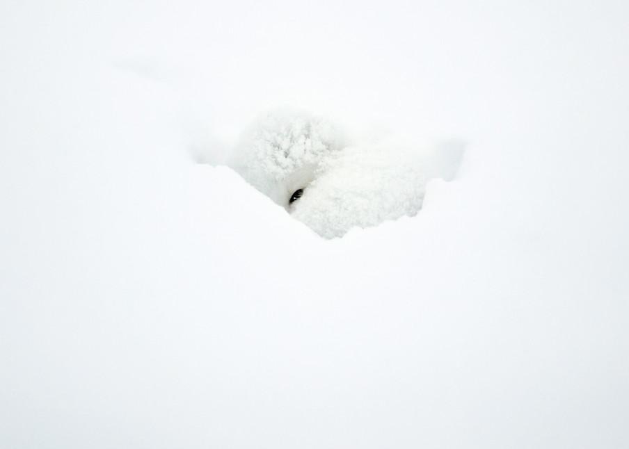 Arctic Foxes 004 Photography Art | Cheng Yan Studio