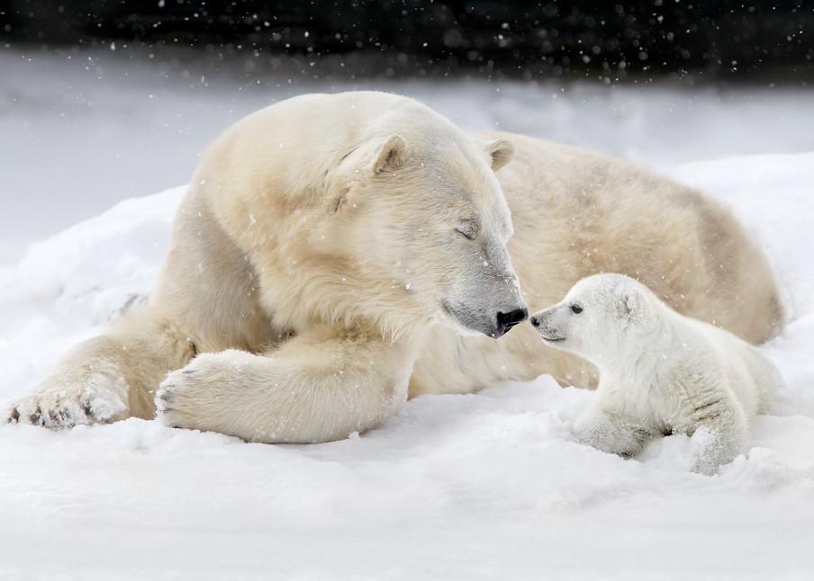 Polar Bears 023 Photography Art   Cheng Yan Studio