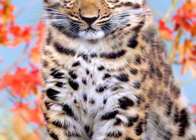 Amur Leopards 006 Photography Art   Cheng Yan Studio