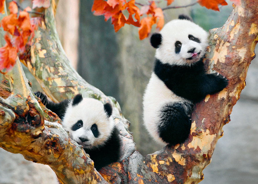 Pandas 001 Photography Art | Cheng Yan Studio