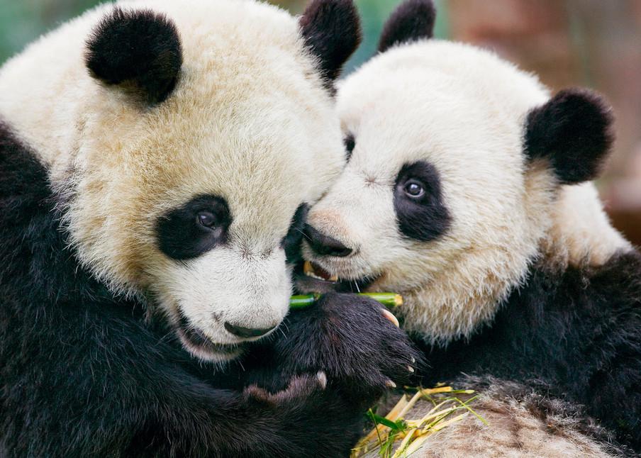 Pandas 044 Photography Art | Cheng Yan Studio