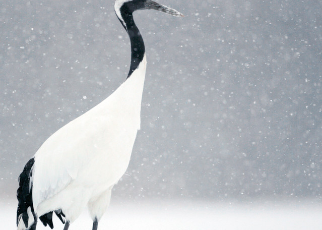 Red Crowned Cranes 009 Photography Art | Cheng Yan Studio
