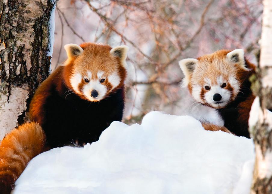 Red Pandas 012 Photography Art   Cheng Yan Studio