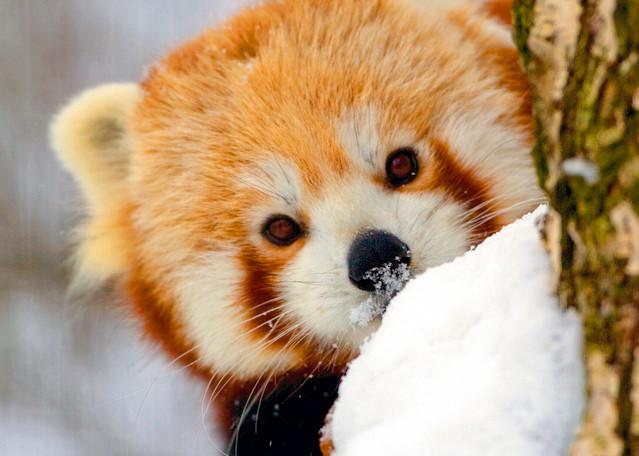 Red Pandas 011 Photography Art   Cheng Yan Studio