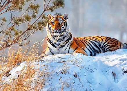 Tigers 001 Photography Art   Cheng Yan Studio
