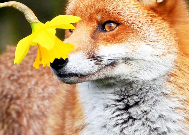Foxes 008 Photography Art   Cheng Yan Studio