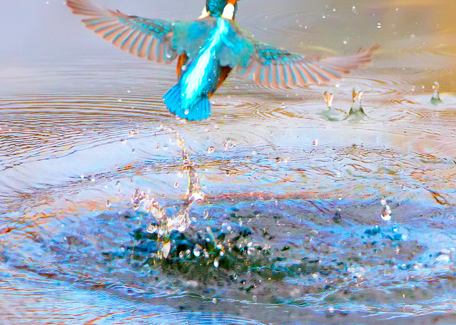 Kingfishers 007 Photography Art | Cheng Yan Studio