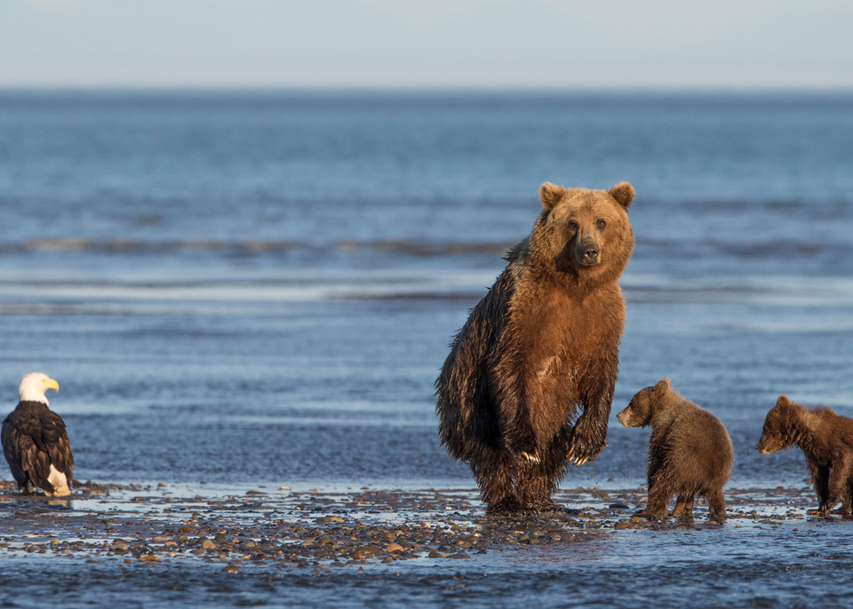 Alaska, coastal brown bears, standing bear, bald eagle