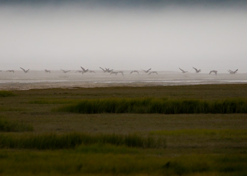 Snow Geese, Alaska, mist