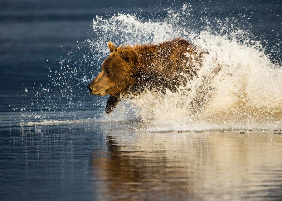 bear running in water, Alaska,
